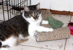"Samantha and a few of her favorite things, a floor scratching post and some knitted ""toys."""