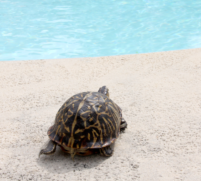Keeping Box Turtles Inside Turtle By Pool