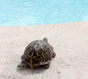 turtle by pool