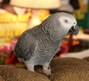 Rosie, is a talkative bird, that loves time out of her flight. But that timei has to be closely supervised.